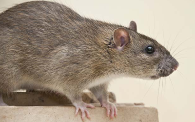Rat and Mice Removal Services in Kitchener, Waterloo & Cambridge