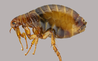 handy-tips-by-pest-control-experts-for-fleas-extermination
